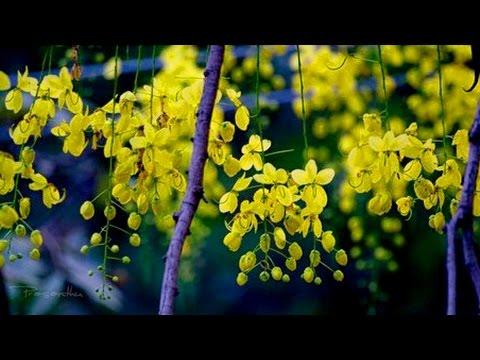 flowers-|yellow-flower-|-kanikkonna-flowers-|-laburnum-|-golden-chain-tree-|-stock-videos