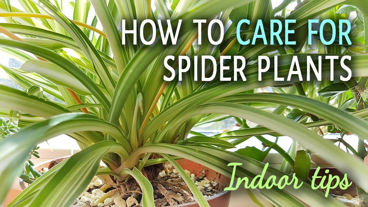 how to care for spider plants indoors youtube. Black Bedroom Furniture Sets. Home Design Ideas
