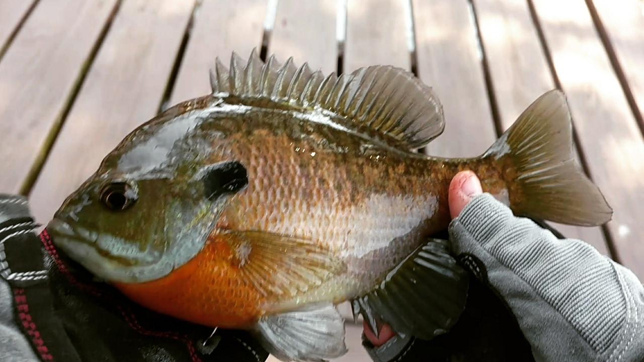 Bluegill fishing at lake of egypt youtube for Lake of egypt fishing report
