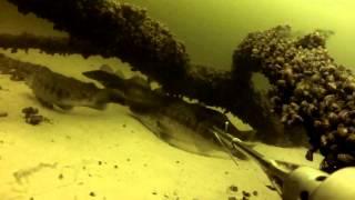 подводная охота на судака видео