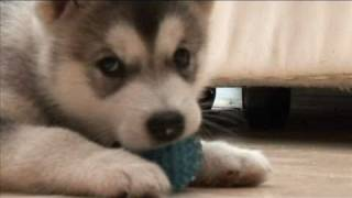 Cutest Puppy Ever - Alaskan Malamute playing with, and feeding from mummy Malamute