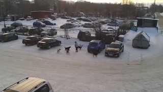 Магнитогорск. Собаки напали на женщину