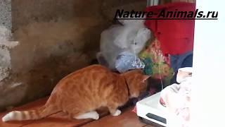 Супер реакция кошки и мышь поймана