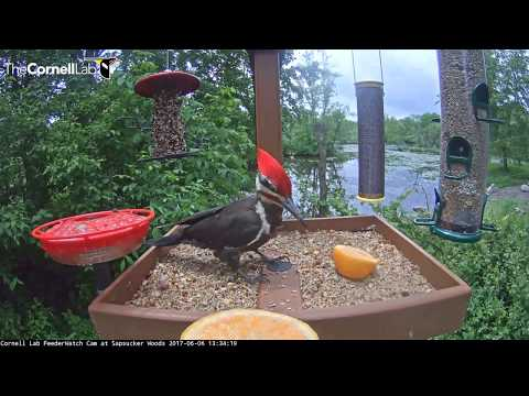 Pileated Woodpecker Samples the Fare on the Cornell Feeders – June 6, 2017