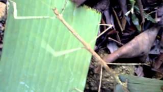 ANEH NYATA:Belalang Sembah mutan dari Ranting Kayu
