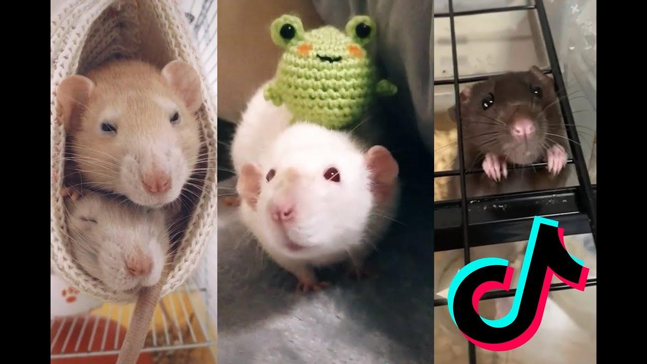 Download Cute Rats [TikTok Compilation] #1