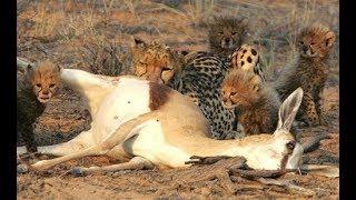 Animal attacks - Best cheetah attacks - fastest predator