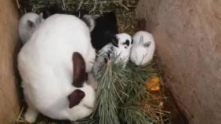 Кормление кроликов СОСНОЙ !!! КАК это БЫЛО))))