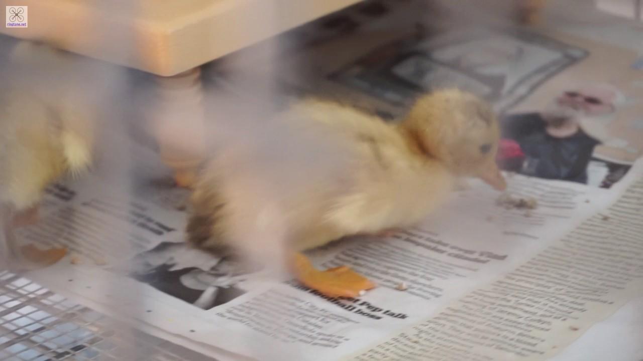 Miniature Silver Appleyard Ducklings - YouTube