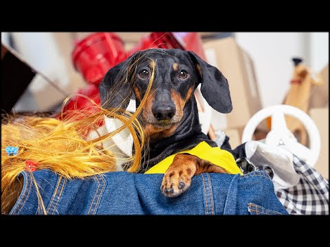 Don't trash memories! Cute & funny dachshund dog video!