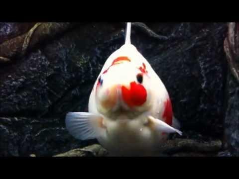 Maidenhead Aquatics Exclusive Show-Quality Fancy Goldfish