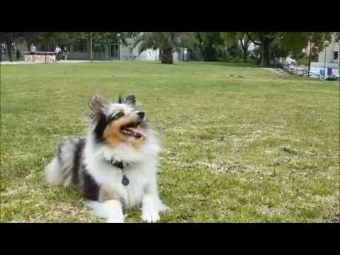 Amazing Sheltie Tricks - Positive Trainning
