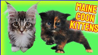 Maine Coon Kittens  Cute Maine Coon Kittens Video  Maine Coon