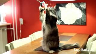 Мэйн-кун - порода кошек