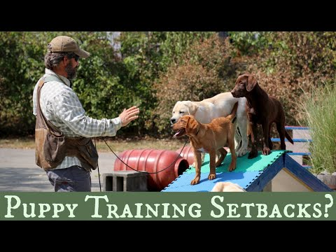 Top 5 Pro Tips for Dealing with Puppy Training Setbacks! Part 1