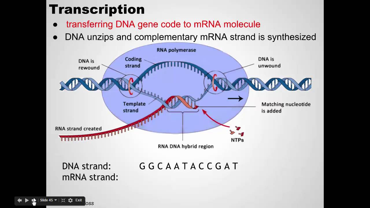 ap bio dna replication essay Ap biology 2nd mp exam # 1 review – ch 13 & 14  there is always an original  strand of dna in daughter cells because dna replication splits.