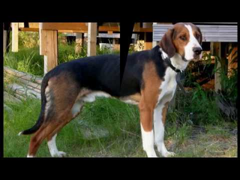 Finnish Hound - medium size dog breed