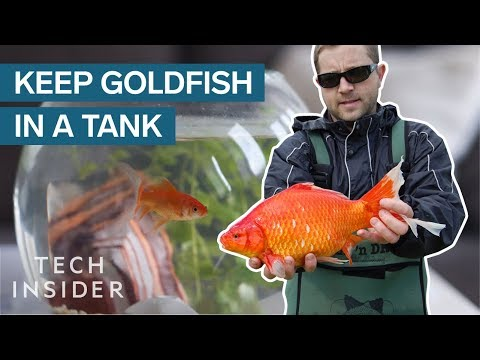 Why Giant Goldfish Are Invading The Planet