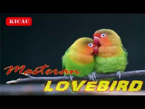 Suara LOVEBIRD Om Kicau | Masteran Lovebird Ngekek Panjang mp3