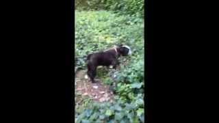 Sophie An English Bulldog Rescue