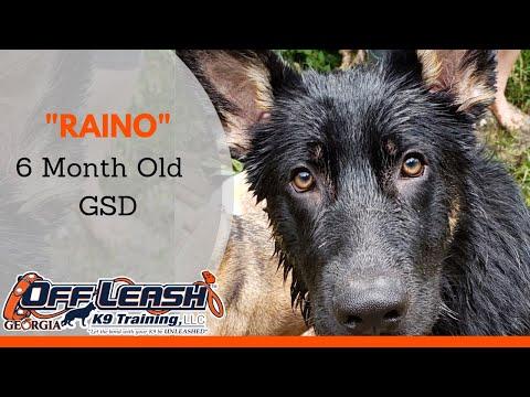 Raino   6 Month Old GSD   Any Breed, Any Age   Dog Training Athens Georgia