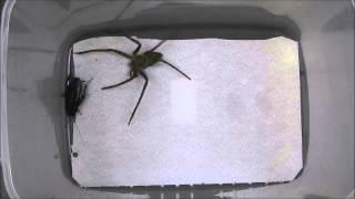 アシダカグモ vs. クロゴキブリ(第2ラウンド)