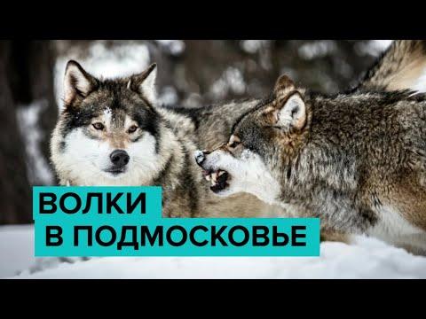 Волки в паре километров от Москвы? Стаи диких животных обитают у домов жителей Подмосковья