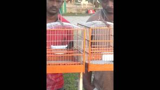 Bird race in Bartica Guyana