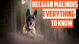 Belgian Malinois: Everything You need to know Before Buying