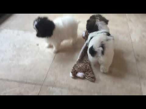 PuppyFinder.com : Havanese Chihuahua Designer Cross
