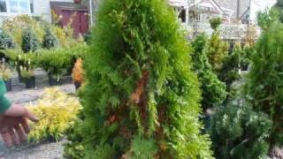 Are these trees dying Why do arborvitae turn yellow?