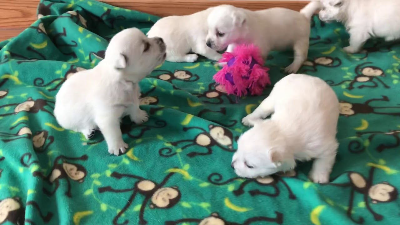 Westie Puppies for Sale, Westie Puppies for Sale MN