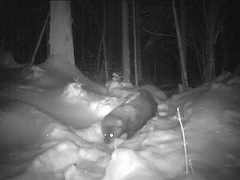 Fisher Cat - New Hampshire