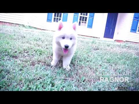 Solid White Husky Puppies