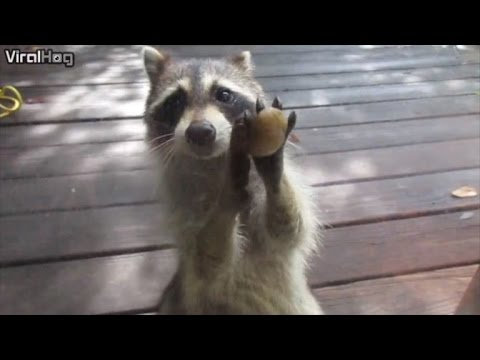 Watch a Clever Raccoon Knock on the Door Demanding Food