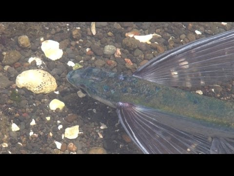 Finding World's Saddest Flying Fish Trapped In A Small Tide Pool @ Kanagawa Japan #flyingfish
