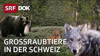 Wolf, Luchs und Bär   Die Rückkehr der grossen Raubtiere in die Schweiz   Doku   SRF DOK