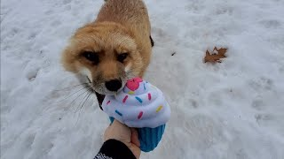 Finnegan Fox gets a cupcake