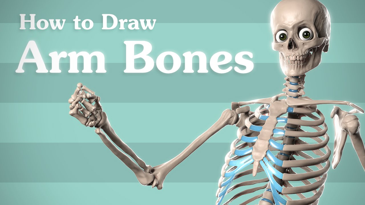 Drawing Arm Bones - Anatomy for Artists - YouTube