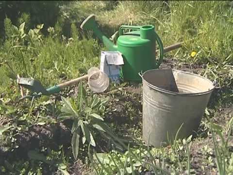 Как ухаживать за тюльпанами? Выращивание тюльпанов