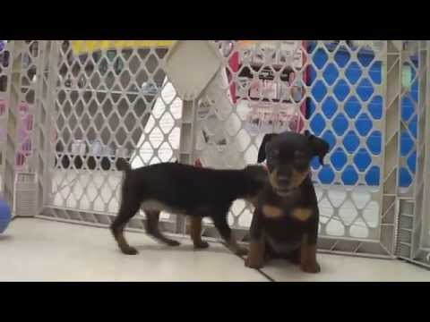 Miniature Pinscher, Puppies, Dogs, For Sale, In Huntington, County, West Virginia, WV, 19Breeders