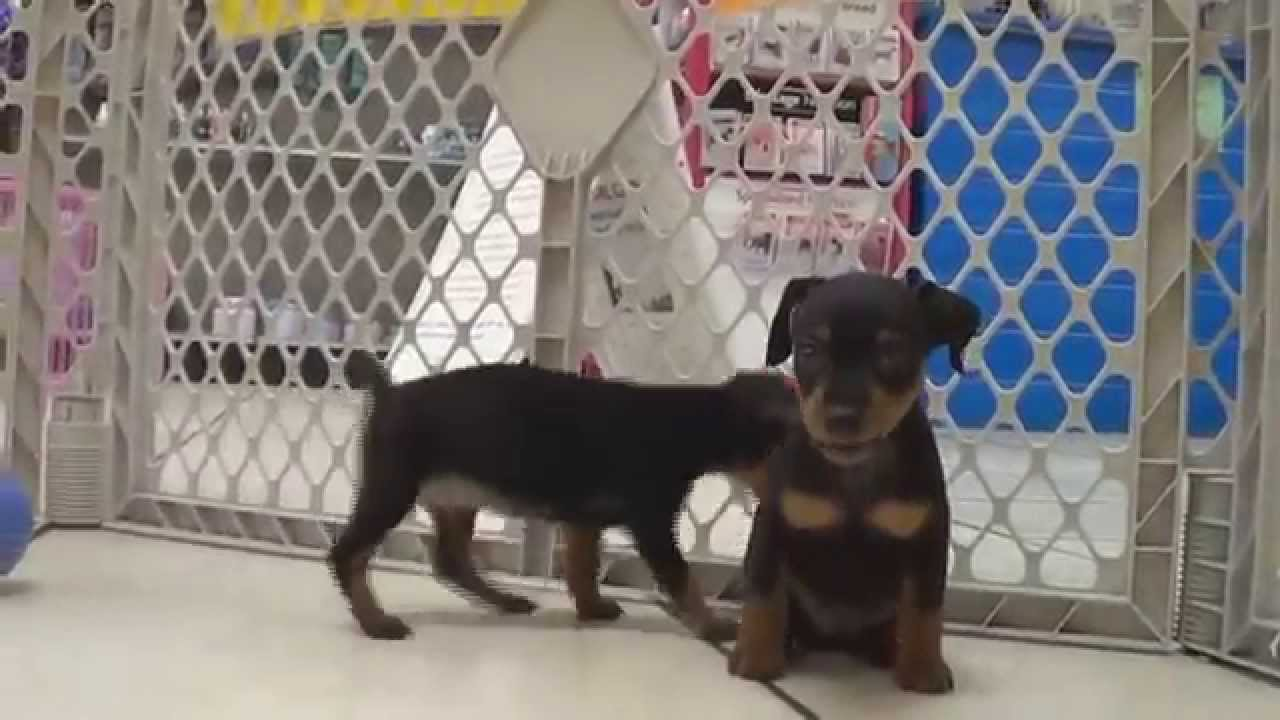 Miniature Pinscher, Puppies, Dogs, For Sale, In Huntington ...