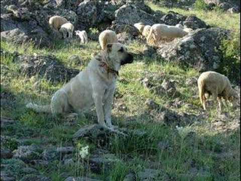 kurdish shepherd dog kangal the anatolian lion   youtube