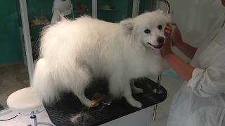 Before bath.Muku ,Japanese spitz male.Owner's Insta : smile2525keic...