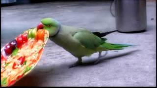 pakistani talking parrot 4.flv