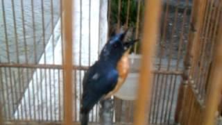 burung tledean tledekan.3GP