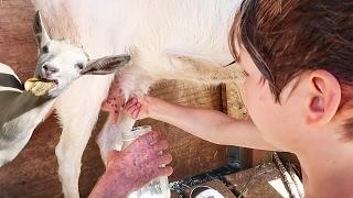 Axel Milking a Goat?!