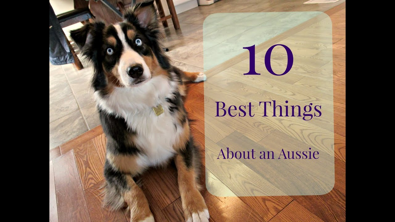 10 best things about an australian shepherd youtube. Black Bedroom Furniture Sets. Home Design Ideas