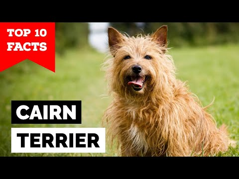 Cairn Terrier - Top 10 Facts