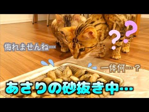 砂抜き中のあさり VS 猫